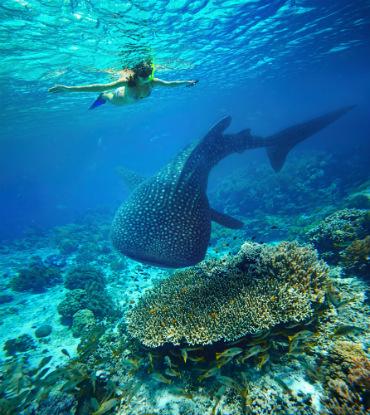 שנורקל עם כריש לוויתן - הדג הגדול בטבע...