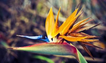 מדירה - ציפור גן העדן