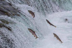 דגי הסלמון במעלה הנהר אלסקה הפראית...