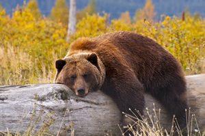 דוב גריזלי במנוחה...