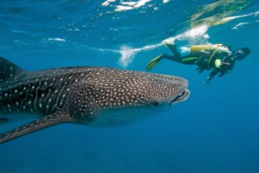 צלילה עם כריש לוויתן - הדג הגדול בטבע...