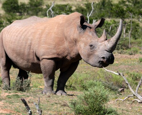 A huge white rhino in this