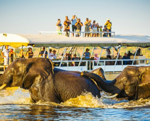 African Elephants swimming across the Chobe River Botswana