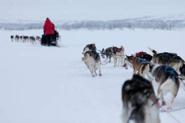 רכיבה בשלג על מזחלות הרתומות לכלבי האסקי