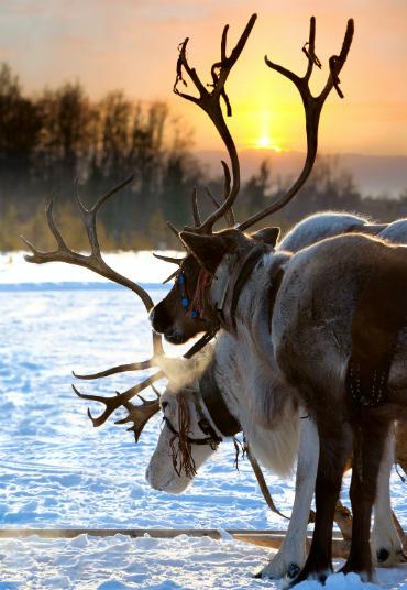 רכיבה בשלג על מזחלות הרתומות לאיילים