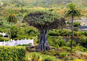 עץ הדרקון
