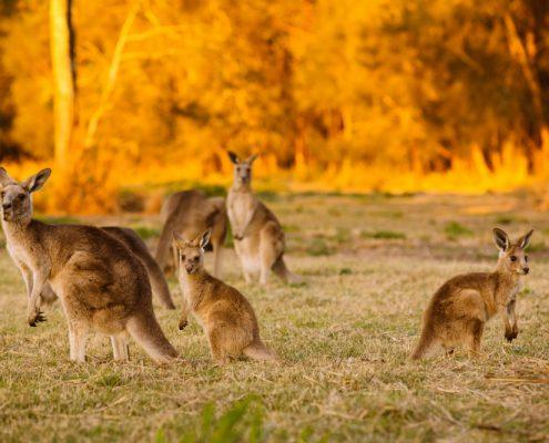 עדר של קנגורו בדמדומים