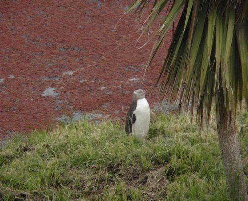 פינגווין צהוב
