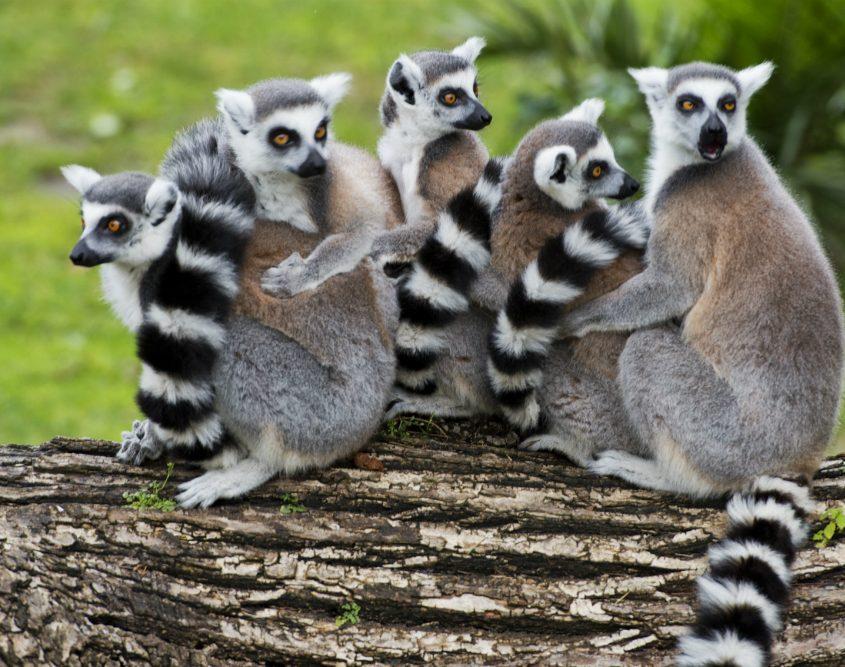 קופי הלמורים - יונקים יחודיים וחמודים במדגסקר