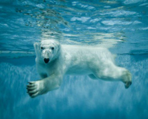 דב הקוטב השוכן מתחת למים